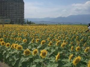 nagisa himawari 2.jpg